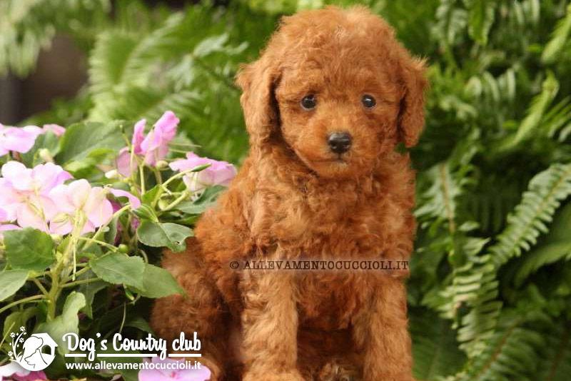 Allevamento barboncino allevamento cuccioli for Barboncino nano toy