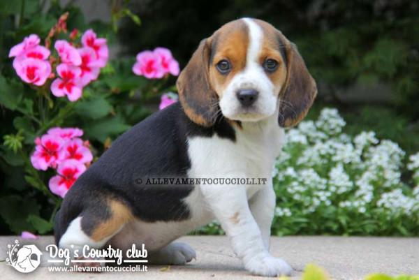 Allevamento Beagle
