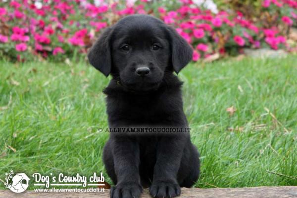 Allevamento Labrador