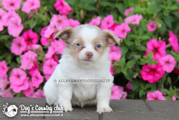 Allevamento Chihuahua