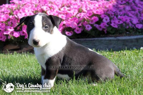 Allevamento Bull Terrier