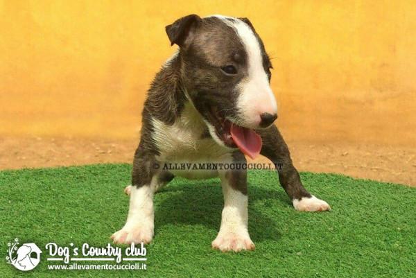 Allevamento Bull Terrier Miniature