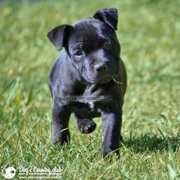 allevamento staffordshire bull terrier