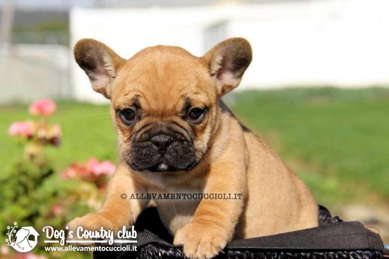 Vendita cuccioli bouledogue francese pavia for Bouledogue inglese