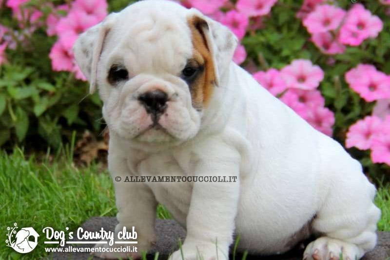 Vendita cuccioli bulldog inglese - Se monto pneumatici diversi dal libretto ...