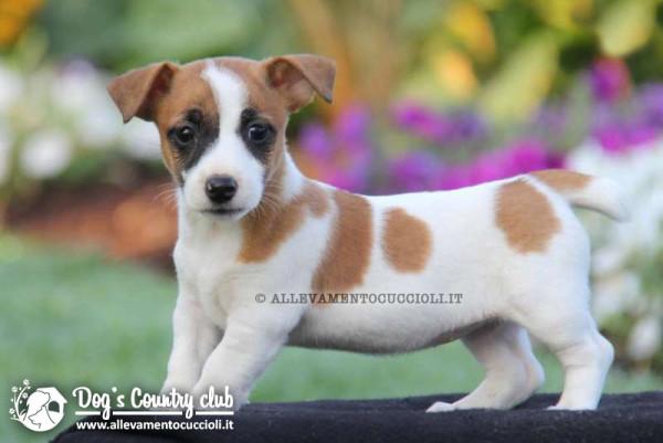 vendita cuccioli jack russell1