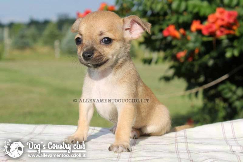 Allevamento Chihuahua Pavia Allevamento Cuccioli