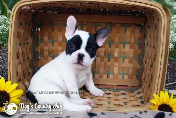 vendita cuccioli bouledogue francese
