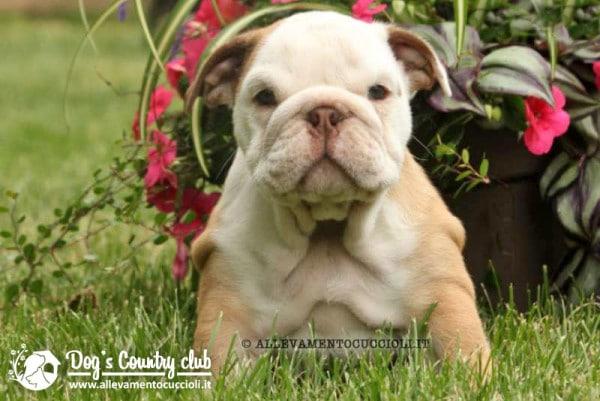 vendita cuccioli bulldog inglese