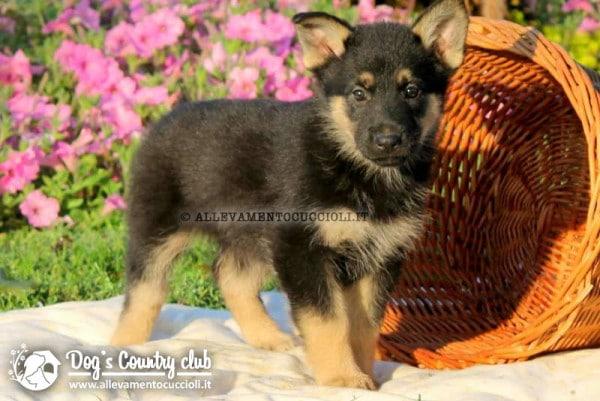 vendita cuccioli pastore tedesco