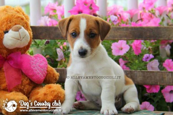 vendita cuccioli jack russell